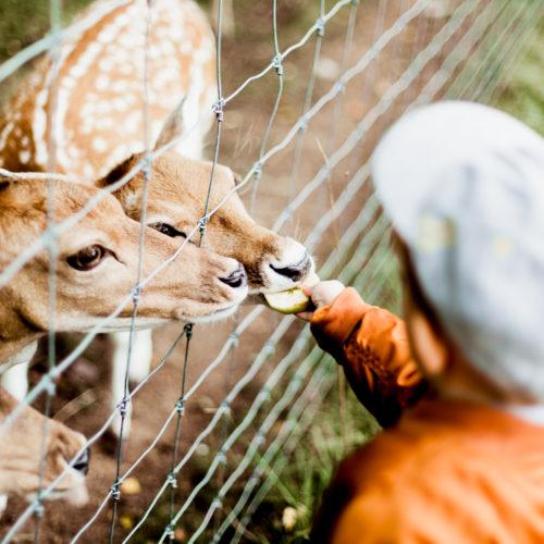 boy feeding reindeer as experience gift for kids idea