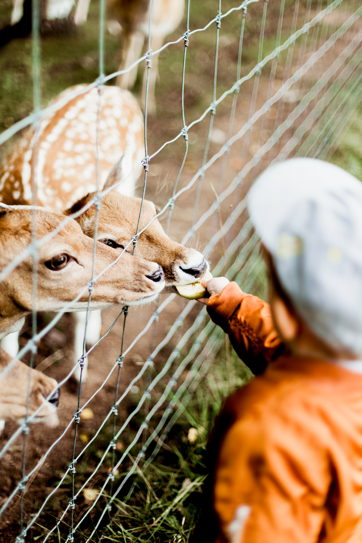 boy feeding deer through fence as experience gift idea